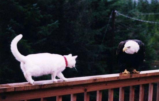 eagle-cat