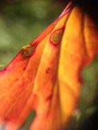 orange-leaf-2