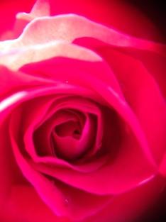 pink-rose-bud