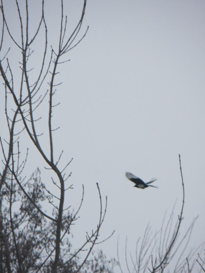 black-billed-magpie-in-flight-kosovo