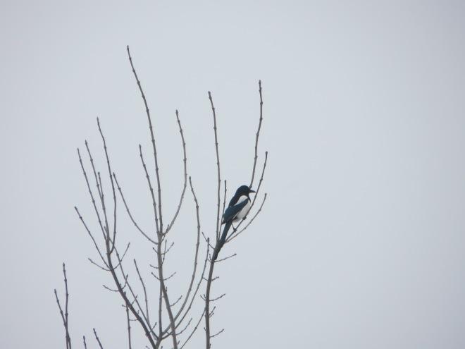 black-billed-magpie-kosovo