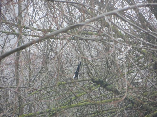 tail-black-billed-magpie-kosovo