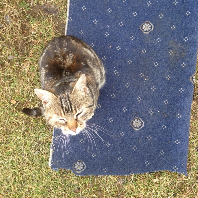 tabby-cat-blue-rug-grass