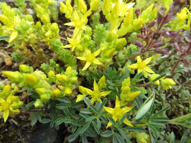 wild flowers kosovo